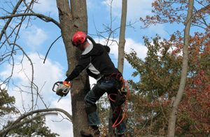 man with chainsaw on a tree pruning away dead branches