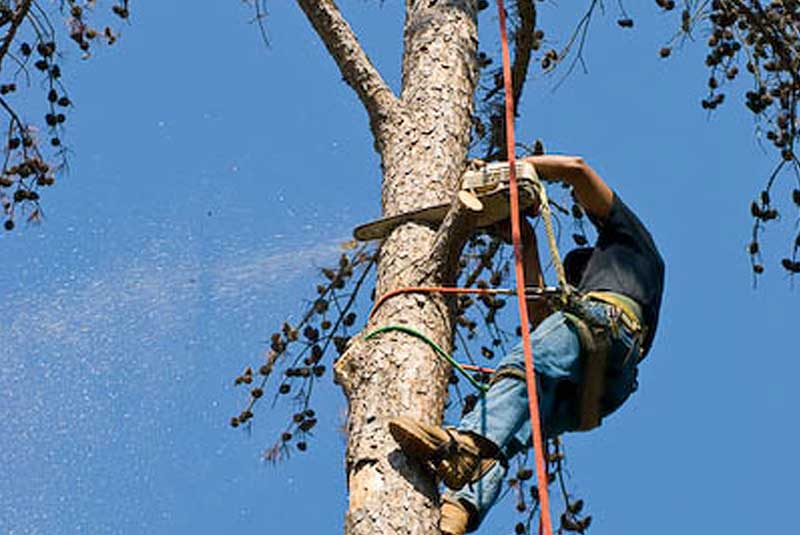 Man with climbing equipment on the side of a tree removing unsightly branches.